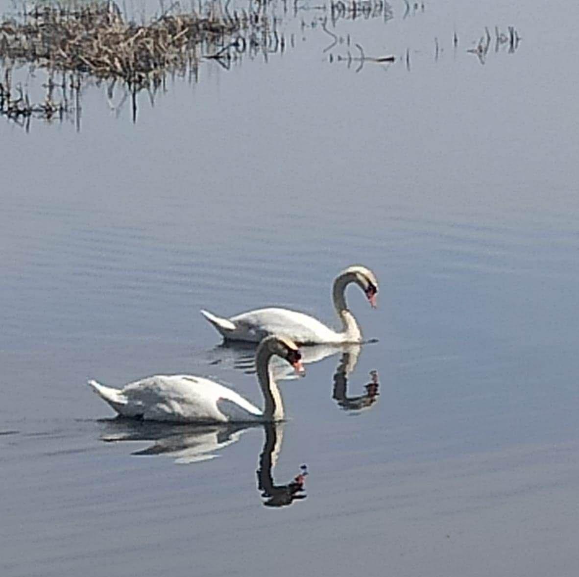 На озере под Набережными Челнами убили лебедя