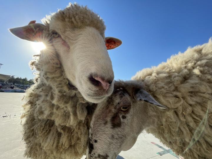 Десять наивных вопросов о Курбан-байраме: как выбрать жертвенного барана и можно ли крутить из него фарш