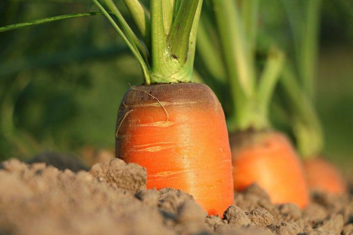 Чем подкормить морковь и свеклу в июле, чтобы получить большой урожай?