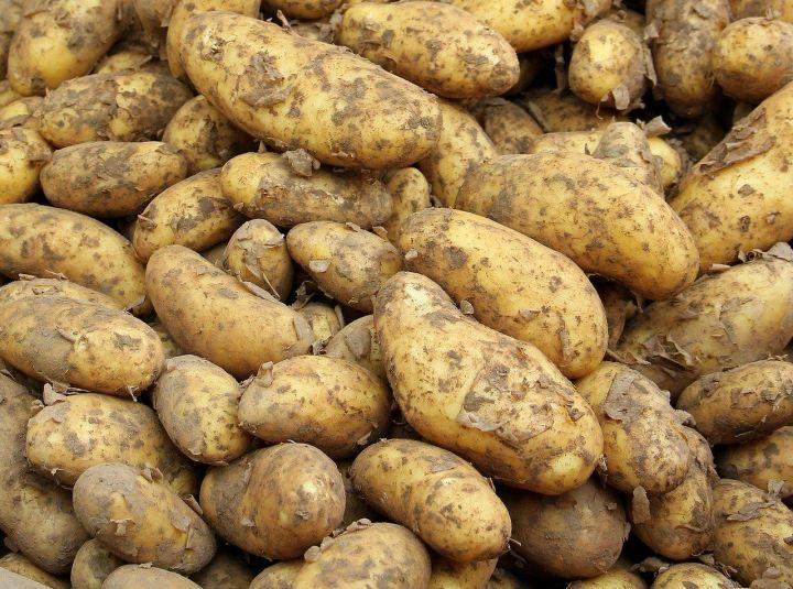 Как сохранить картофель до следующего урожая